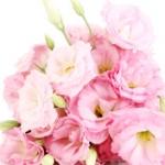 Ruža Rosa gallica, centifollia, damascena